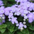 大通り公園に咲いていた花(アゲラダム )