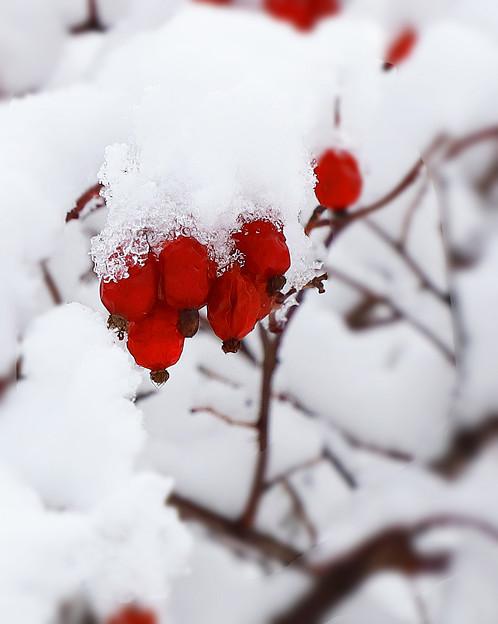 赤い実の雪化粧