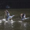 写真: パンダ鴨、飛びます