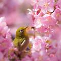 写真: 桜メジロー