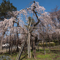 写真: 桜の季節 2