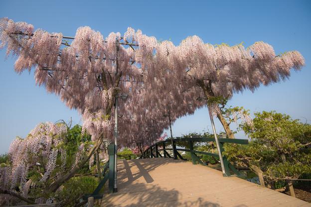 写真: 藤の季節