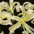 写真: 彼岸花の季節 白
