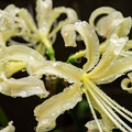 彼岸花の季節 白
