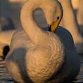 写真: 夕焼け色の白鳥