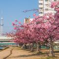 Photos: 河津桜とスカイツリー