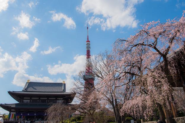 東京タワーとしだれ桜