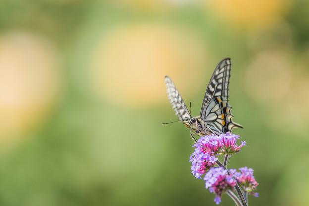 アゲハ蝶の世界