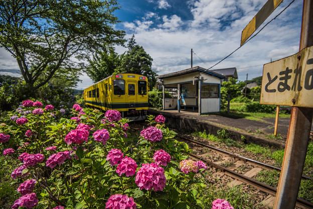 ローカル列車と紫陽花