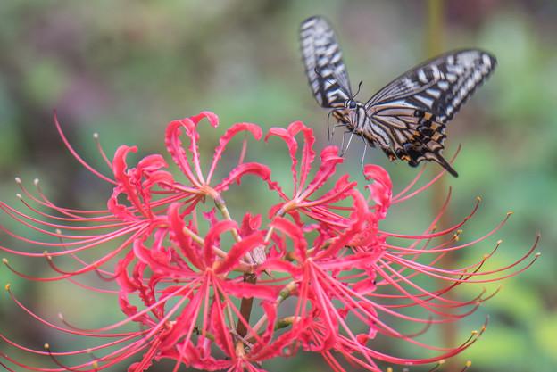 彼岸花とアゲハ蝶 1