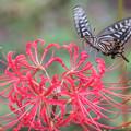 Photos: 彼岸花とアゲハ蝶 1