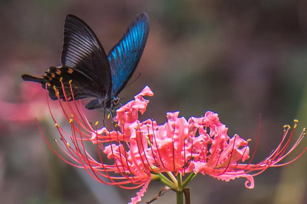 彼岸花とアゲハ蝶 2