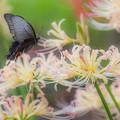 Photos: 彼岸花とアゲハ蝶 3