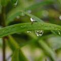 Photos: 葉の水滴