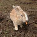 Photos: 大久野島のウサギ  ニンジンをくわえて