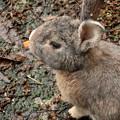 Photos: 大久野島のウサギ  ニンジンを食べる