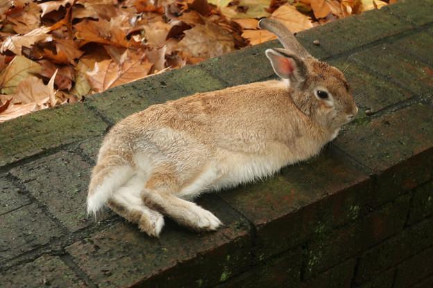 大久野島のウサギ  寝そべる