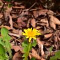 枯れ葉の中のタンポポ
