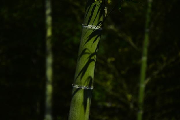 竹の葉の影