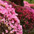 Photos: ピンク色と赤色とピンク色と…
