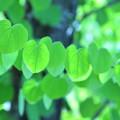 Photos: 葉が並び