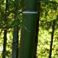 Photos: 竹たち