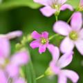 Photos: 小さく咲く