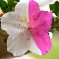 Photos: 二色の花
