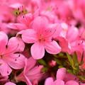 ピンク色沢山