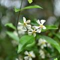 3つの白い花