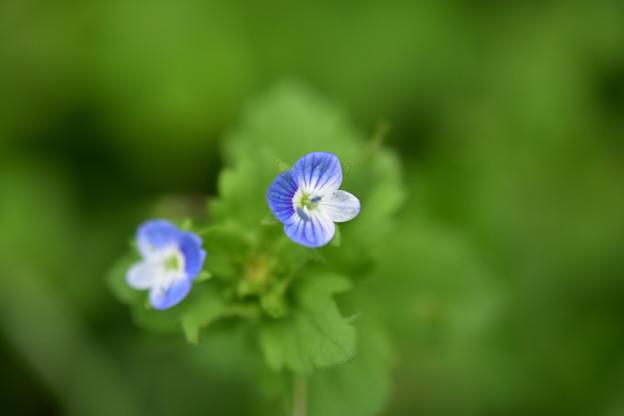 Photos: 青い小さな花