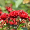 花の女王は、バラでしょう!