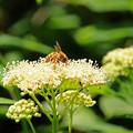 Photos: ブンブンブン、ハチが飛ぶ