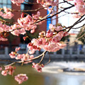 Photos: 堀端の桜