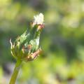 Photos: もうすぐ咲きます。