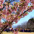 写真: 春は遠足と桜