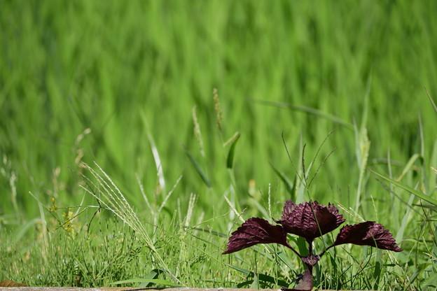 雑草をフォトグラフィーみたいな感じで撮ってみた