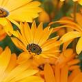 光のパレット ディモルフォセカ 「陽だまりの優しさ」