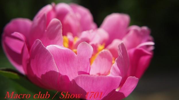 あまとうななつさんのための 府立植物園 芍薬 「阿房宮」 325