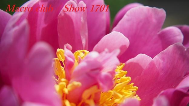府立植物園 芍薬 「阿房宮」 328
