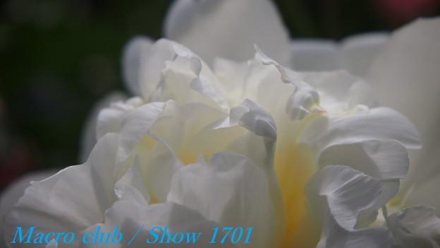 ちゃおりんさんのための 府立植物園 芍薬 「白雪姫」 331
