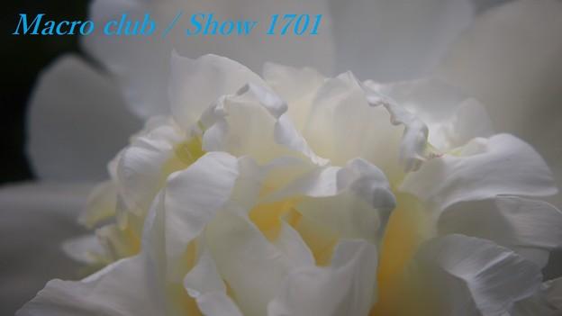 ちゃおりんさんのための 府立植物園 芍薬 「白雪姫」 332