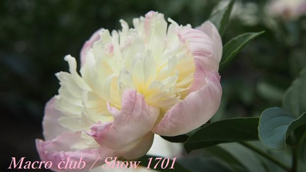 府立植物園 芍薬 「白帝冠」 333