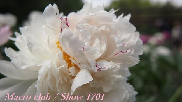 府立植物園 芍薬 「白帝冠」 334