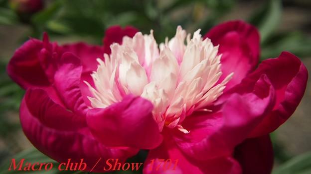 府立植物園 芍薬 「ときめき」 336