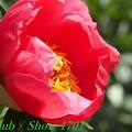 hiro 君のための 府立植物園 芍薬 「コーラルニューゴールド」 341