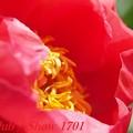 府立植物園 芍薬 「コーラルニューゴールド」 343