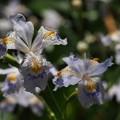 写真: 府立植物園 シャガの花 2018
