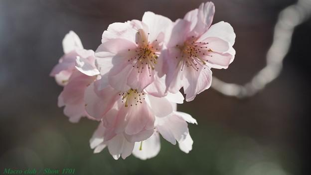 2018 秋 一輪だけ咲いていた桜の花