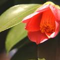 写真: ヤブ椿の花